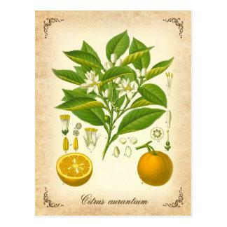 Seville orange - vintage illustration post card