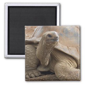 Seychelle Aldabran land tortoise Magnet