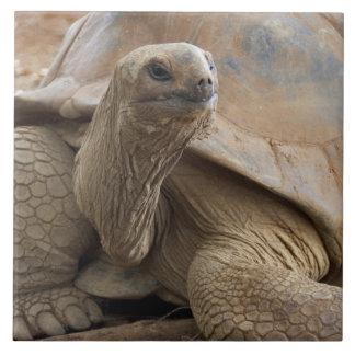 Seychelle Aldabran land tortoise Tile