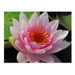 SG Lincoln, Nebraska pink water lily #1  01
