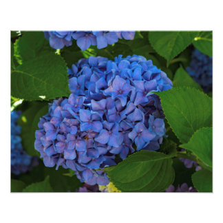 Shades Of Blue - The Blue Hydrangea Photo Print