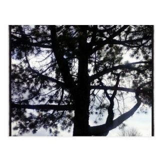 Shadowy Pine Tree Postcard