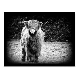 Shaggy Highland Cow Photo (Black & White) Postcard