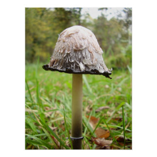 Shaggy Ink Cap Mushroom Poster