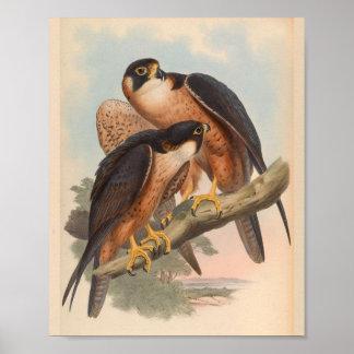 Shaheen Falcon Bird Vintage Art Print