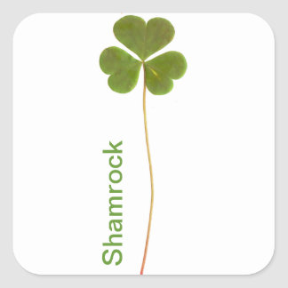 Shamrock for Saint Patrick's Day Square Sticker
