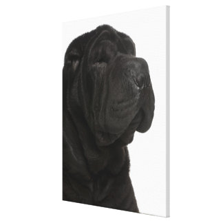 Shar Pei (1 year old) close-up Canvas Print