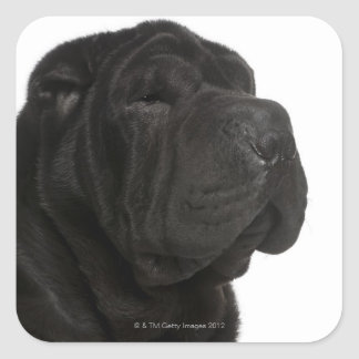 Shar Pei (1 year old) close-up Square Sticker