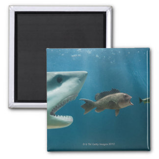 Shark chasing sea bass chasing juvenile square magnet
