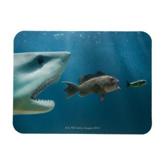 Shark chasing sea bass chasing juvenile magnet