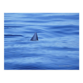 Shark swimming in ocean water postcard