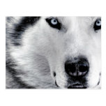 Sharp Eyed Wolf Post Card