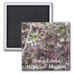 Sharp Lobed Hepetica Magnet