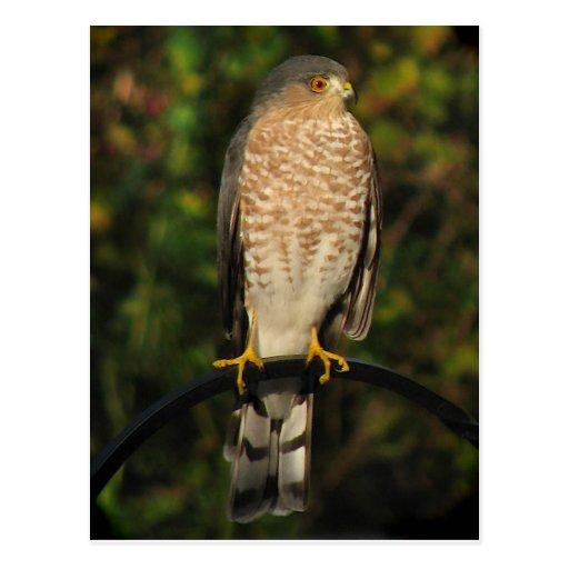 Sharp-Shinned Hawk Post Cards