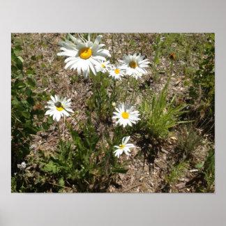 Shasta daisies poster