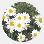 Shasta Daisies Sticker