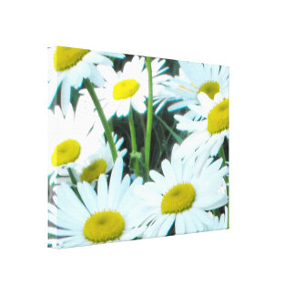 Shasta Daisies Stretched Canvas Print
