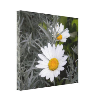 Shasta Daisies wrapped canvas Canvas Prints