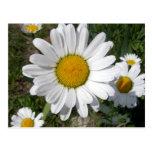 Shasta Daisy (Chrysanthemum maximum) Postcards