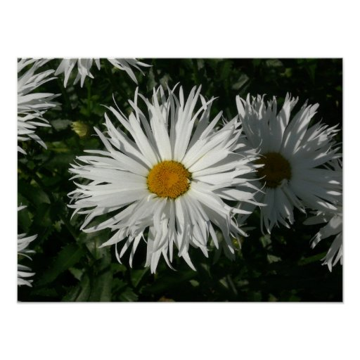Shasta Daisy Gone Crazy. Posters