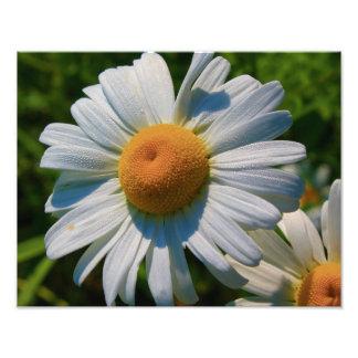 Shasta Daisy Photo Print