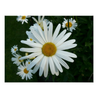 Shasta Daisy Poster