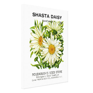Shasta Daisy Vintage Seed Packet Stretched Canvas Print