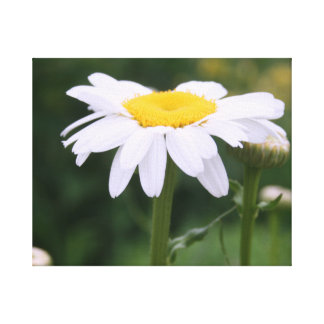 Shasta Daisy With Buds Canvas Prints