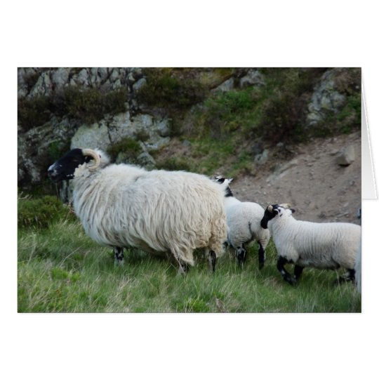 Sheep and Lambs in Northumberland England Card