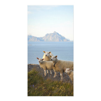 Sheep and lambs on mountain top in Lofoten, Norway Personalised Photo Card