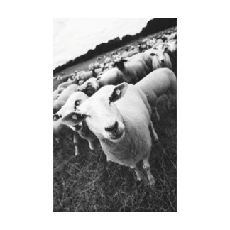 Sheep black Weis photo Stretched Canvas Prints