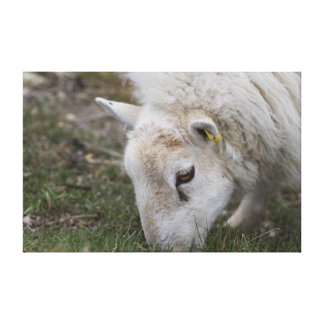 Sheep eating grass in the field canvas