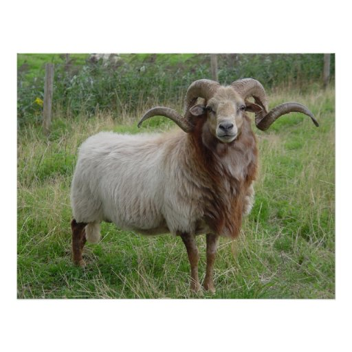 Sheep - Fox colored Ram Poster