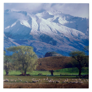 Sheep grazing below the snow-capped Harris Tile