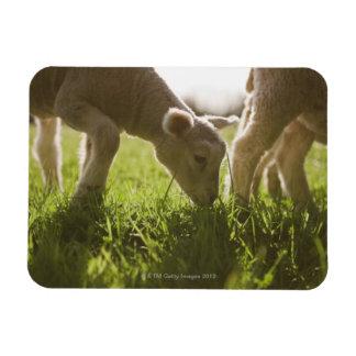 Sheep Grazing in Grass Magnet