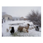 Sheep In April Snow Poster
