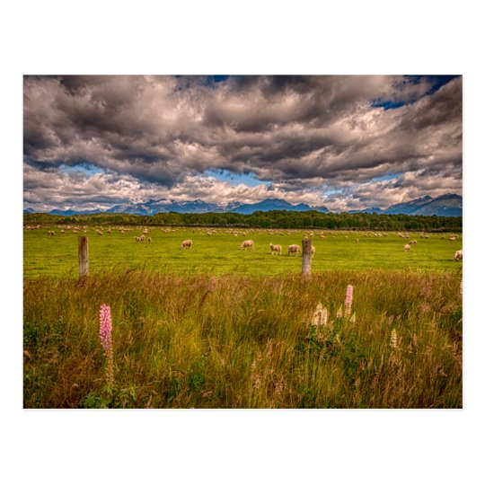 Sheep in Fiordland, Te Anau, New Zealand Postcard
