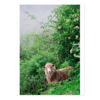 Sheep in lush green pasture Peru Postcard