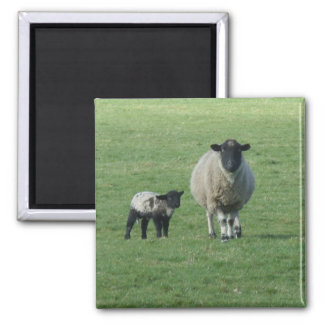 Sheep in the field magnet
