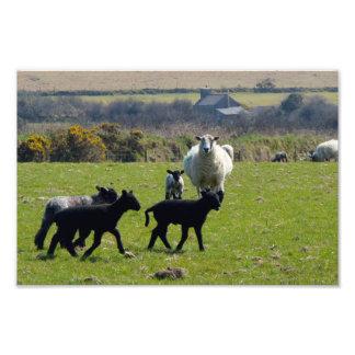 Sheep Lambs Bodmin Moor Cornwall England Photo