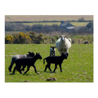 Sheep Lambs Bodmin Moor Cornwall England Postcard