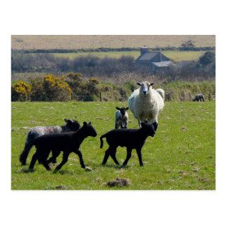 Sheep Lambs Bodmin Moor Cornwall England Postcard