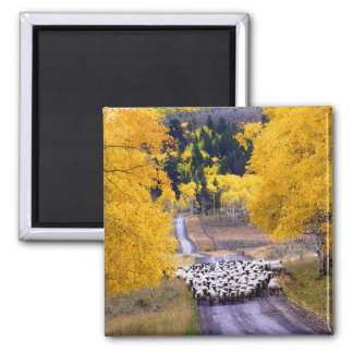 Sheep on Country Road Square Magnet
