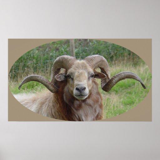 Sheep - Rams Head Posters