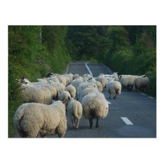 Sheep Roads Lambs Postcard