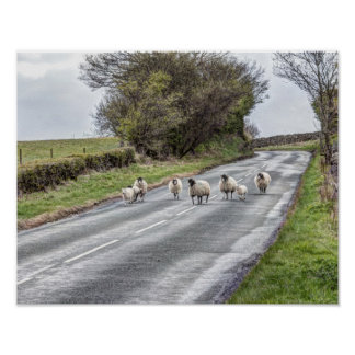 Sheep running down a road poster