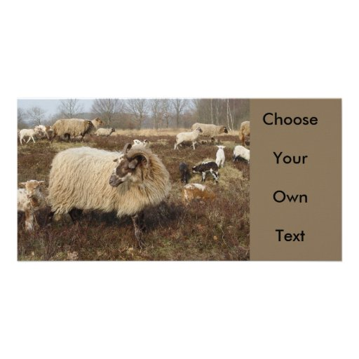Sheep - Sheep in Heather field Photo Card