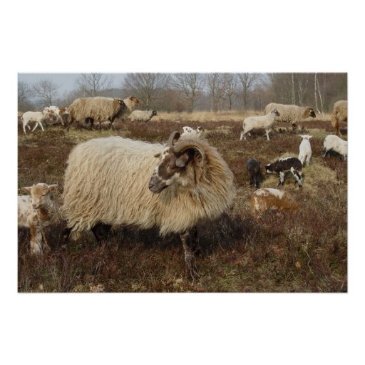 Sheep - Sheep in Heather field Posters