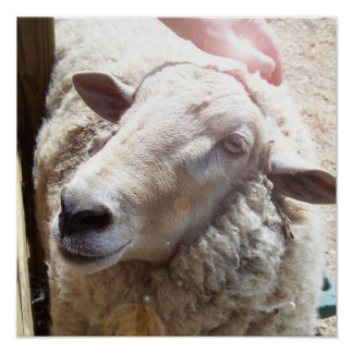 Sheep The Good Shepherd Christian Art photograph Poster