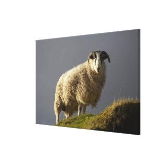 Sheep, Trotternish Peninsula, Isle of Skye, Canvas Print